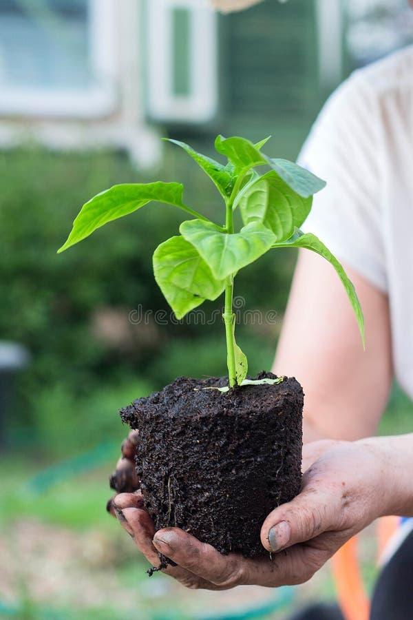 Woman& x27;拿着有地面的s手年轻辣椒粉植物 库存图片