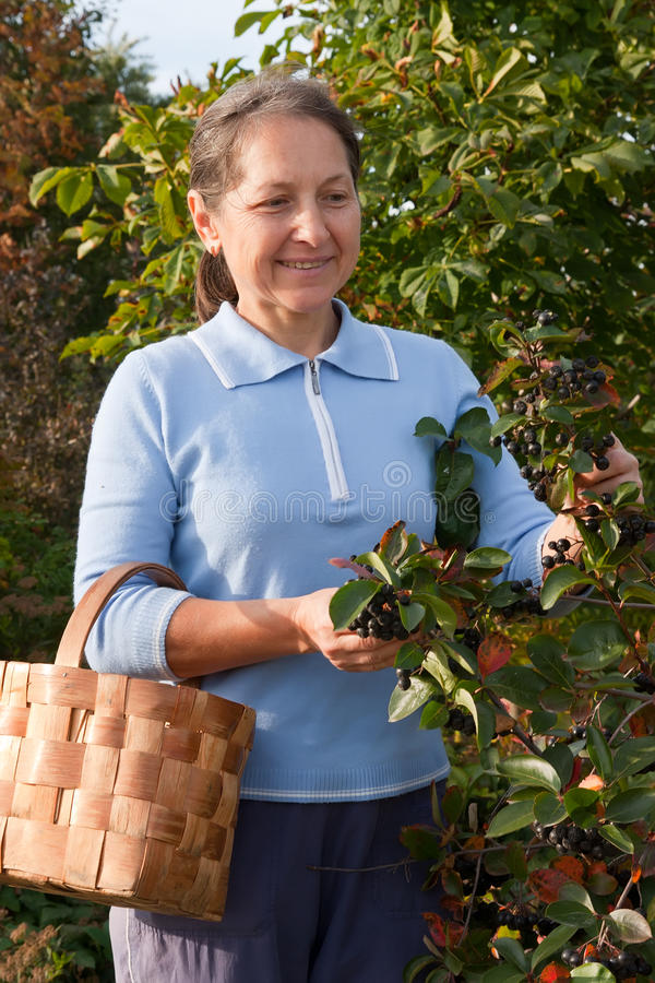 Woman aged near chokeberry bush royalty free stock images