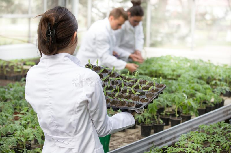 Woman agronomist holding seedling tray in greenhouse royalty free stock image