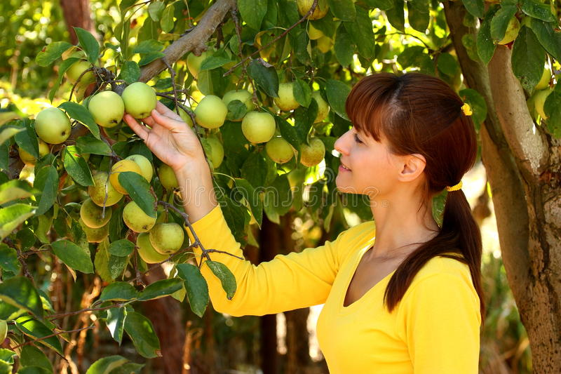 Download Woman in apple garden stock photo. Image of reach, close - 27271164