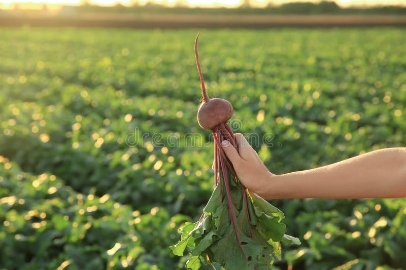 Woman with beetroot in field stock photos