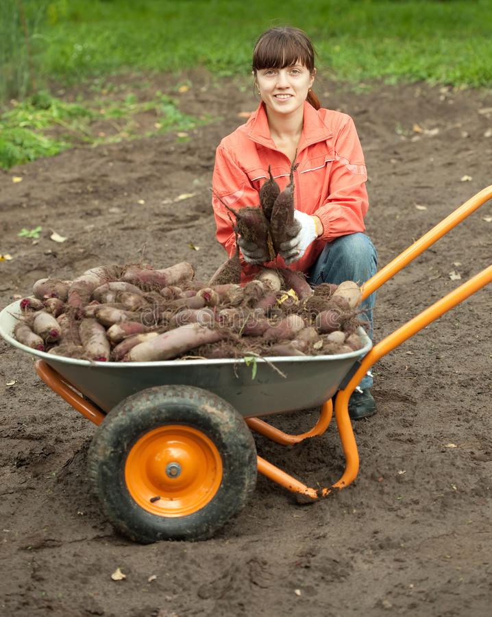Woman with beetroot harvest stock images