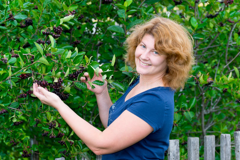 Woman in a black chokeberry bush in the garden stock images