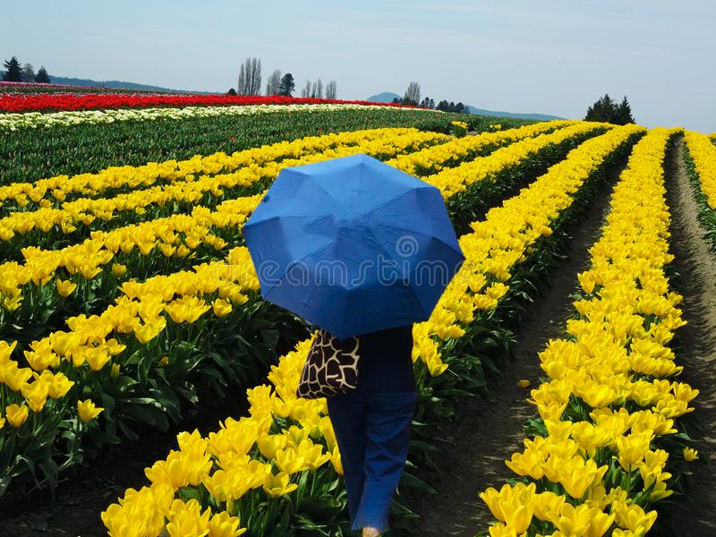 Tulip Fields Valley Festival Figure with Umbrella. Woman with blue umbrella in colorful tulip fields Skagit Valley, LaConner, Washington. Located about 70 miles royalty free stock photography