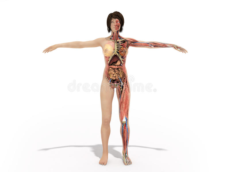 A Woman Body For Books On Anatomy 3d Render Image On White Stock ...