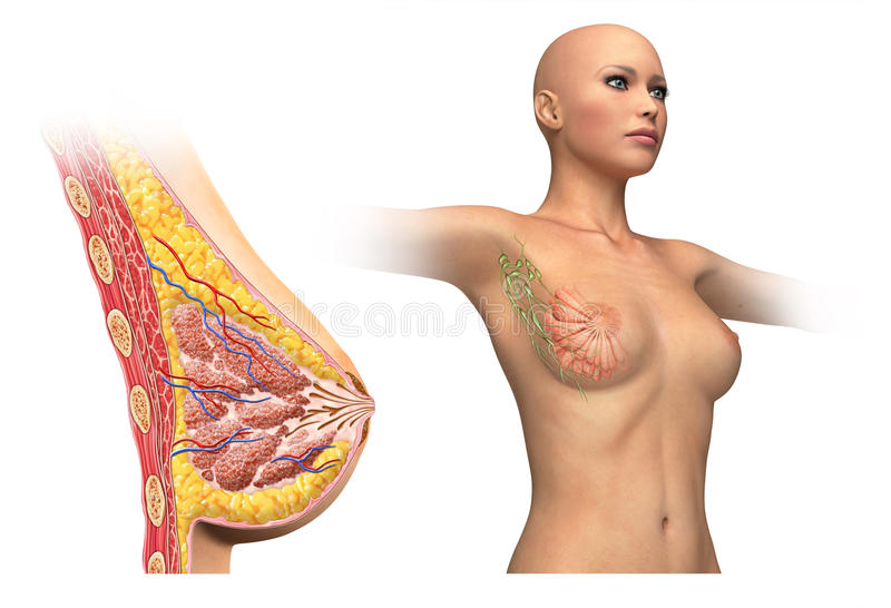 Woman breast cutaway diagram. Woman breast cutaway, cross section diagram. With also woman figure showing limphatic glands. On white background and clipping vector illustration