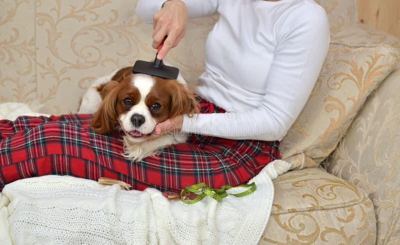 Woman Brushing Her Sleepy Dog stock photography