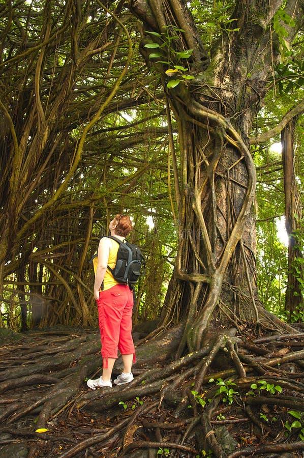 Woman in a Banyan tree forest. Big Island of Hawaii stock photos