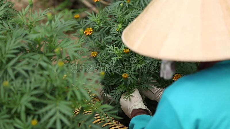Woman cares for the flowers in their garden. A woman with conical hat cares for the flower garden in Sa Dec, Thap, Vietnam. Sa Dec is flower producing center stock video footage