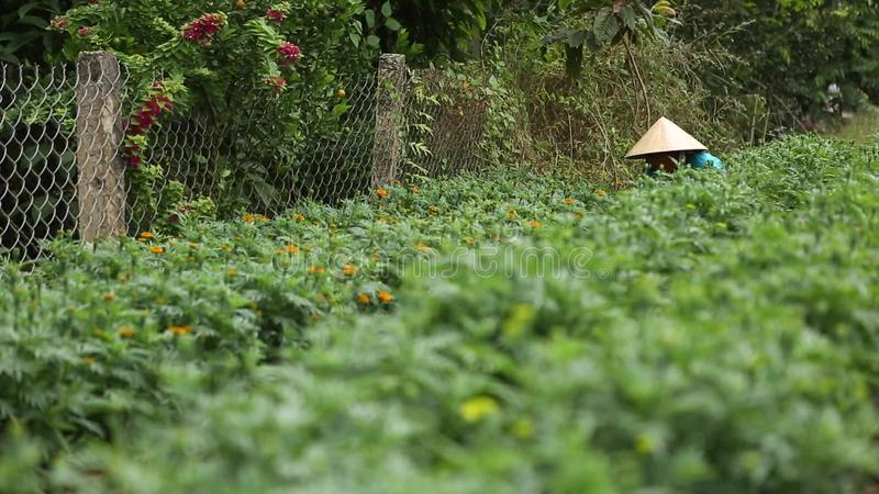 Woman cares for the flowers in their garden. A woman cares for the flower garden in Sa Dec, Thap, Vietnam. Sa Dec is flower producing center stock video