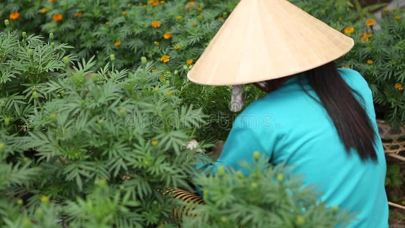 Woman cares for the flowers in their garden. In Sa Dec, Thap, Vietnam. Sa Dec is flower producing center stock video footage