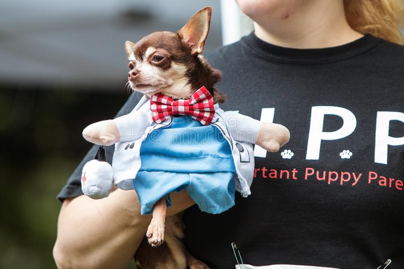 Woman Carries Dog Wearing Doctor Costume At Atlanta Doggy Con. Atlanta, GA, USA - August 18, 2018: A woman carries a small dog dressed in a doctor costume with a stock image