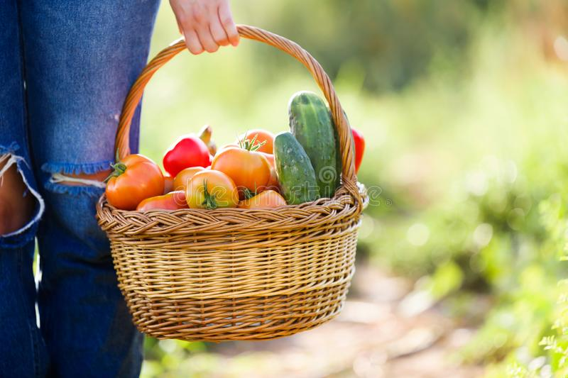 Woman carrying basket with freshly harvested vegetables in garden. royalty free stock image