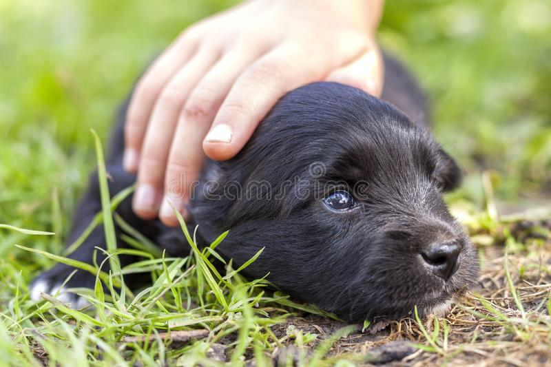 Woman or child hand lovingly caressing small funny black puppy dog with trusting shiny eyes. royalty free stock photo