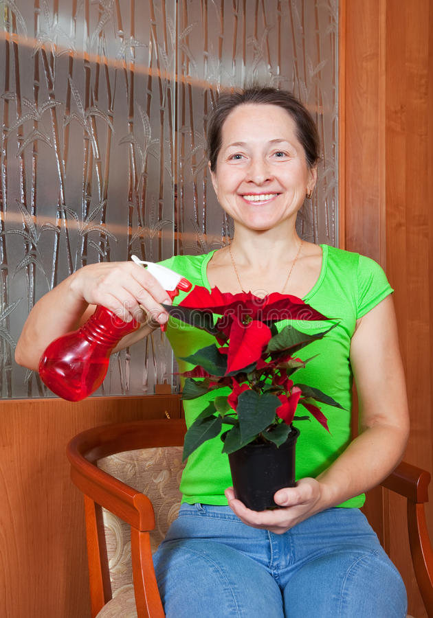 Woman with Christmas Star flower. Mature woman with Christmas Star flowers in pot at her home royalty free stock photo