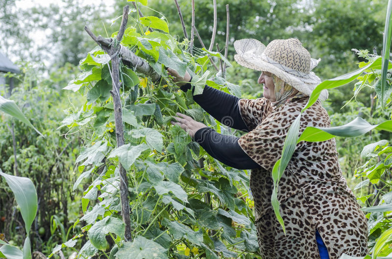 Woman collects cucumber harvest. stock photography