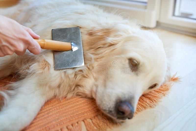 Woman combs old Golden Retriever dog with a metal grooming comb stock photography