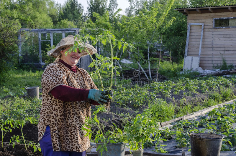 A woman in the country to the tomato seedlings . stock image
