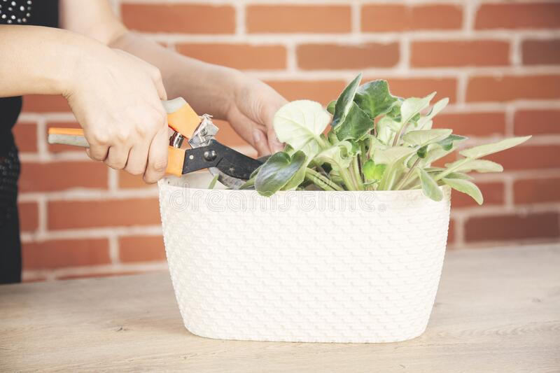 Woman cultivate  plant. In a bowl on brick wall background stock photography