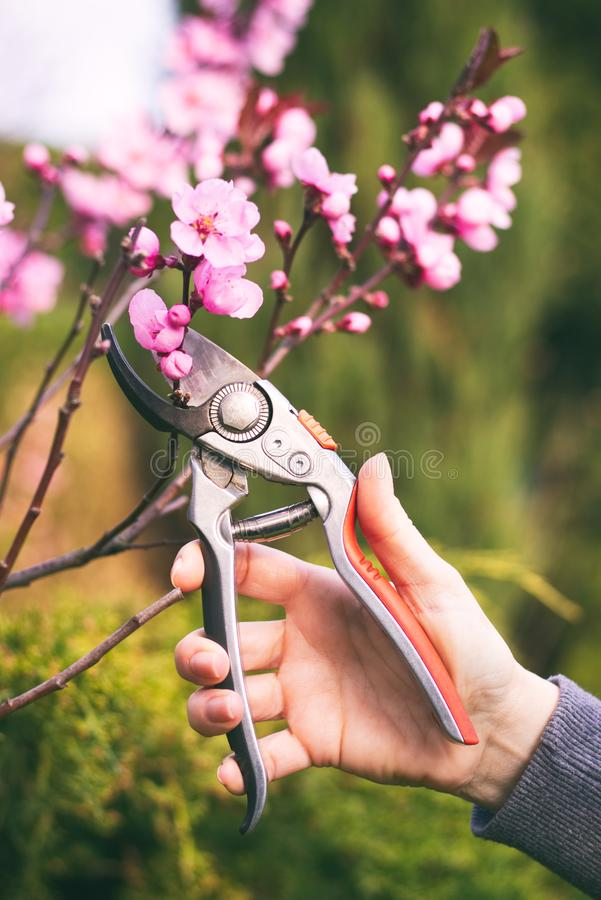 Woman cut a blooming branch of cherry tree with pruning scissors. Garden work on a trees in springtime royalty free stock images