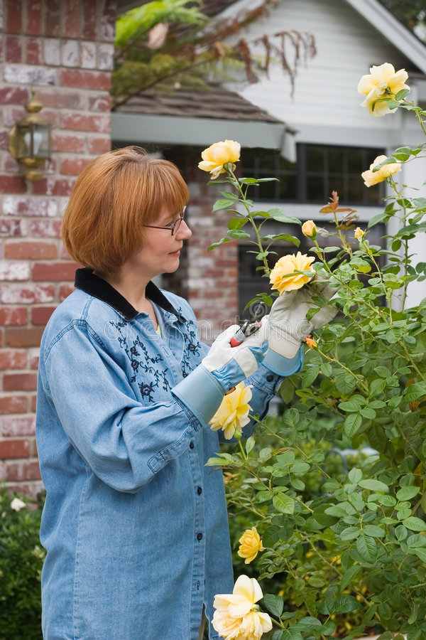 Woman cut roses in garden royalty free stock photo