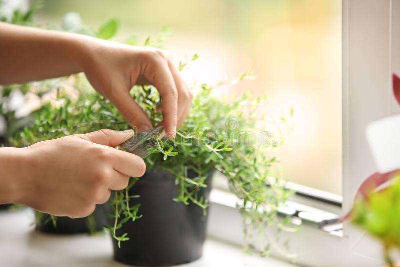Woman cutting fresh homegrown thyme on windowsill stock images