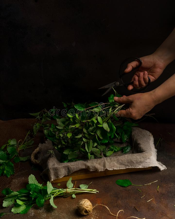 Woman cutting freshly cut mint on dark background. Low key image, vertical orientation, with copy space. Woman`s hands cutting freshly cut mint on dark royalty free stock photo