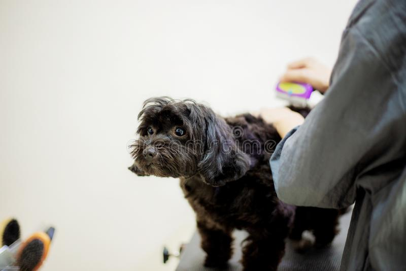 Woman are cutting hair a dog. stock image