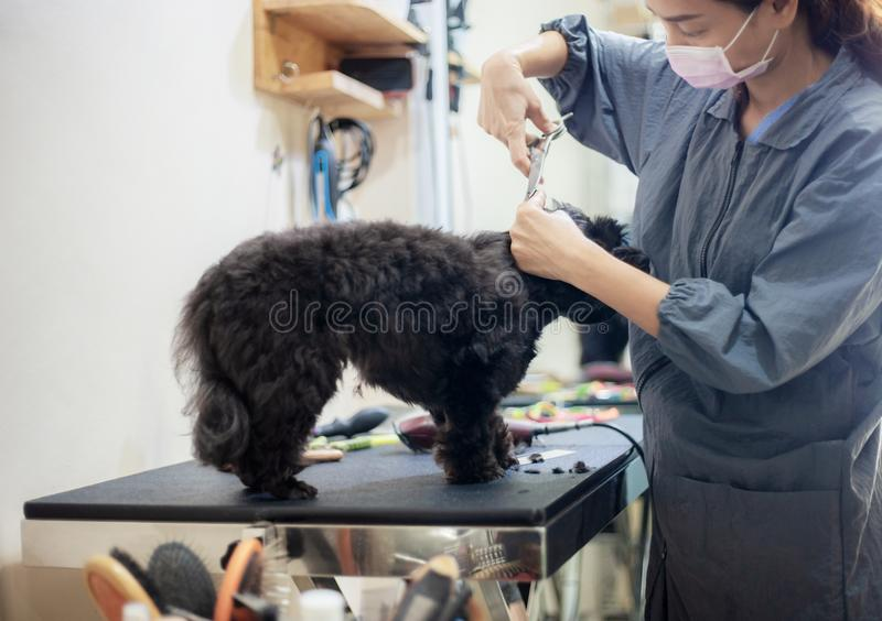 Woman are cutting hair a dog. royalty free stock photography