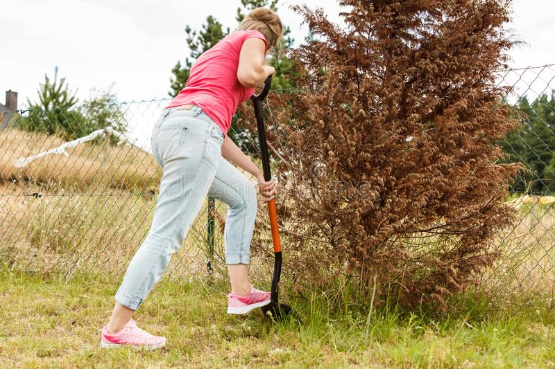 Woman digging hole in garden royalty free stock image