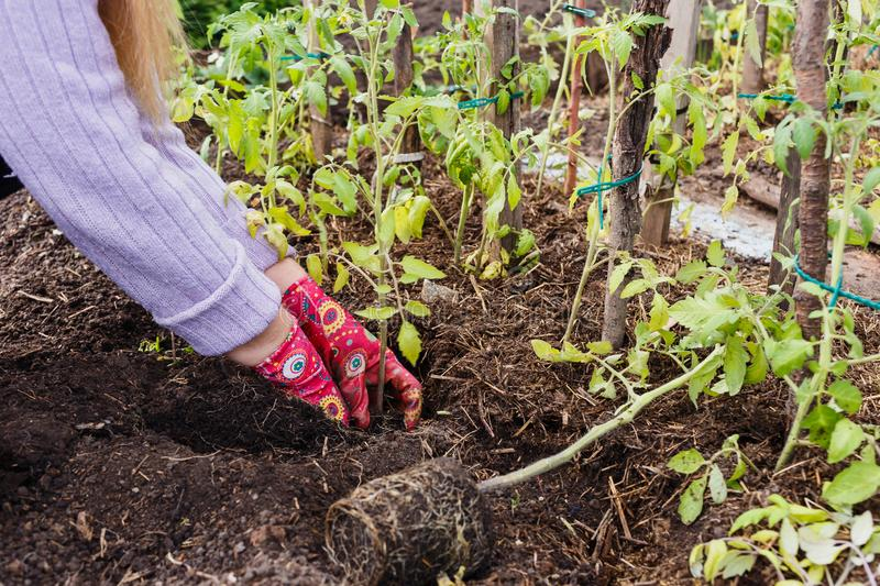 A woman in dirty garden gloves plants a large tomato seedlings in the ground royalty free stock photo