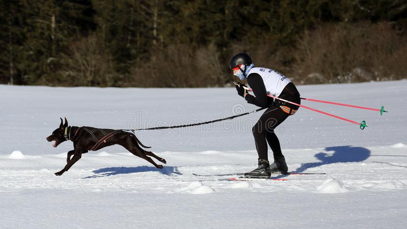 Woman with dog attending at skijoring race during winter time royalty free stock photography