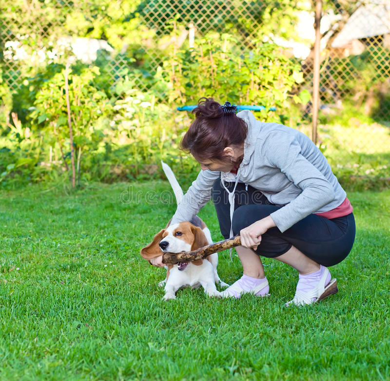Woman with beagle. Woman and dog plays with a stick on a lawn stock images