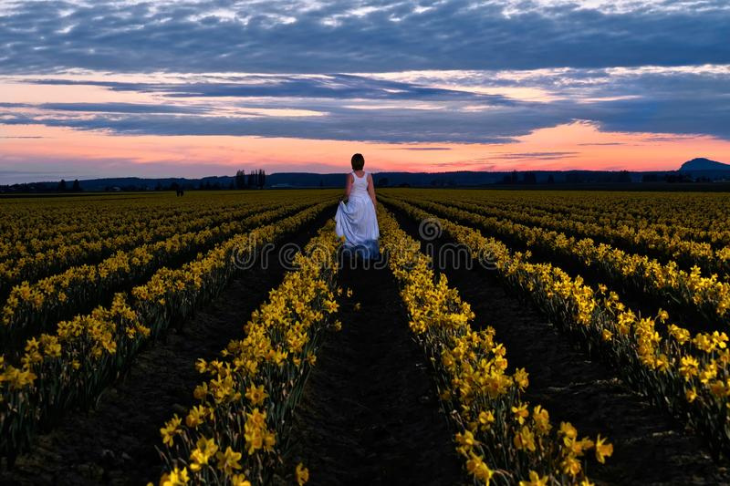 Sunset at daffodil fields. Woman in dress standing on yellow fields in bloom. Skagit Valley Tulip festival. Mount Vernon. Seattle. WA. USA royalty free stock images