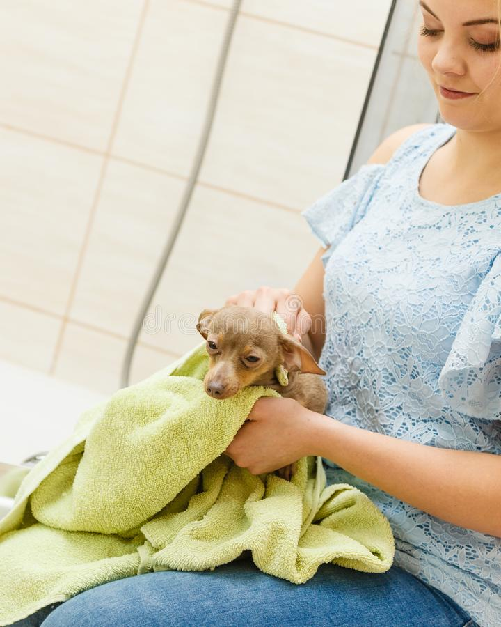 Woman drying dog after bath stock photo