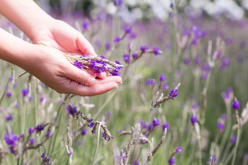 Female hands holding a handful of lavender in a field royalty free stock image