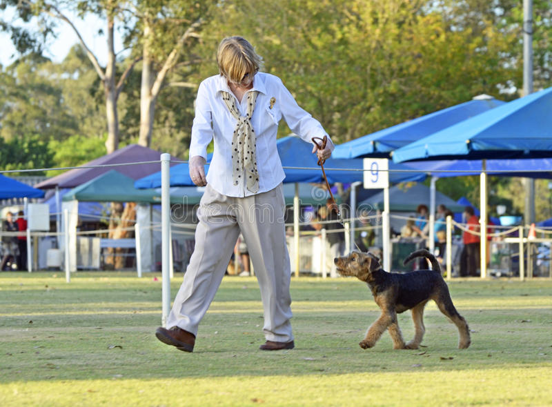 Woman exhibitor walking Airedale Terrier puppy in dog show ring stock photos