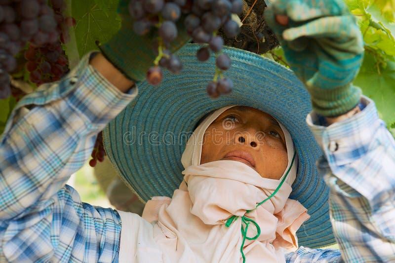 Woman farmer harvests grapes at the plantation in Nakhon Ratchasima, Thailand. Nakhon Ratchasima, Thailand - April 10, 2010: Woman farmer harvests grapes at the stock photos