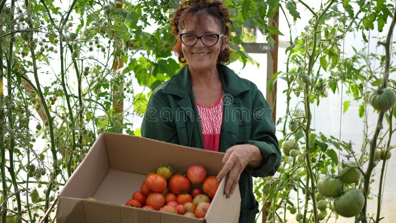 A woman farmer harvests in a greenhouse. The farmer holds a box of organic vegetables-tomatoes. Organic Farm Food stock photos