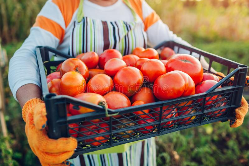 Woman farmer holding box of red tomatoes on eco farm. Gathering autumn crop of vegetables. Farming, gardening stock images