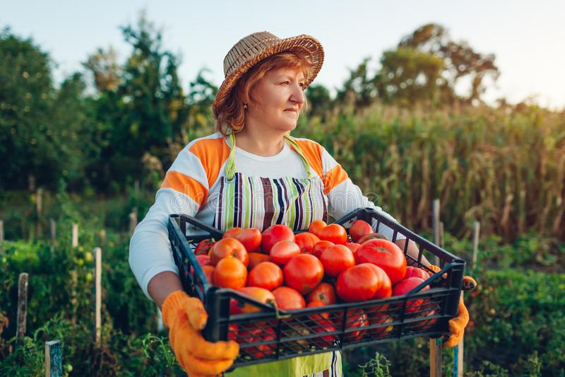 Woman farmer holding box of red tomatoes on eco farm. Gathering autumn crop of vegetables. Farming, gardening stock photo