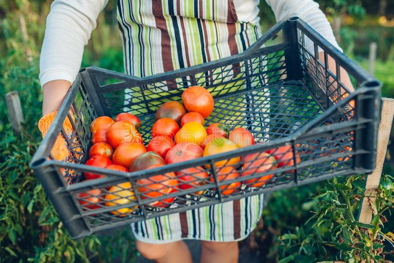 Woman farmer holding box of red tomatoes on eco farm. Gathering autumn crop of vegetables. Farming, gardening royalty free stock image