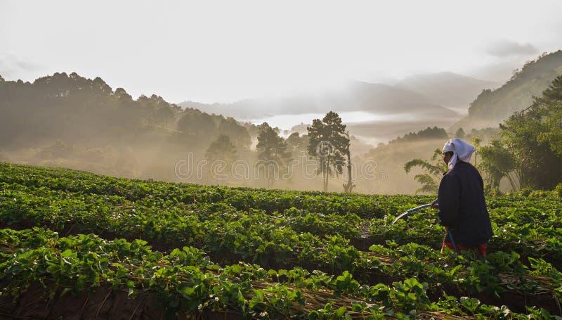 Woman farmer watering on Strawberry farm. When sunrise with fog, Doi angkhang, Chiangmai province, Thailand stock photos