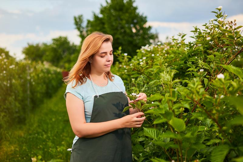 Woman farmer working in fruit garden. Biologist inspector examines blackberry bushes stock photography