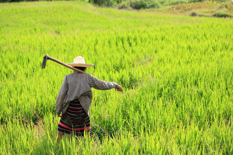 Woman farming holding spade at terraced rice field. In Chiang Mai, Thailand royalty free stock photos
