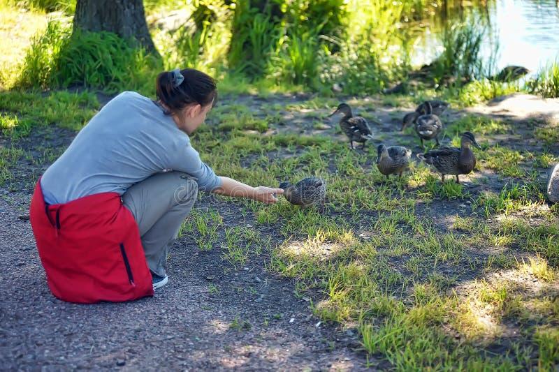 Woman feeding ducks royalty free stock photography