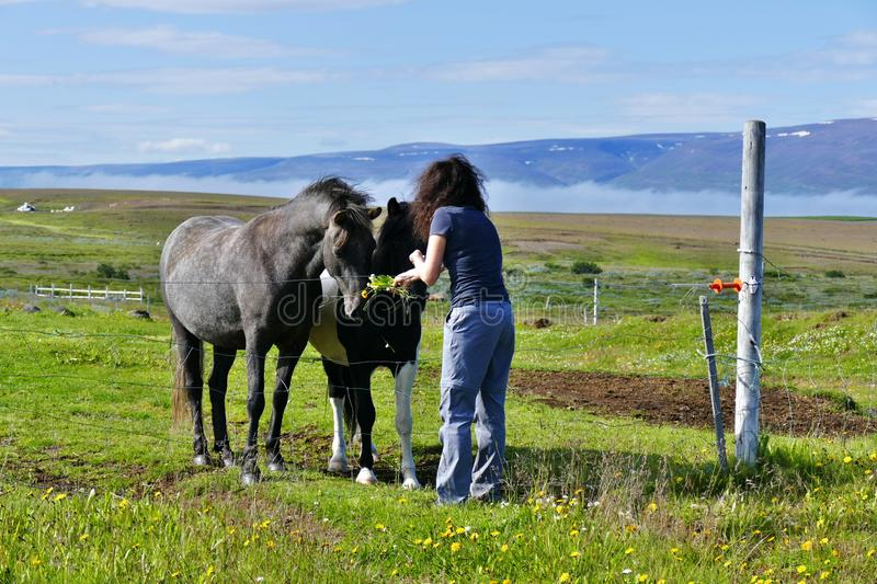 Woman feeding two beautiful icelandic horses on a pasture near Husavik royalty free stock photography