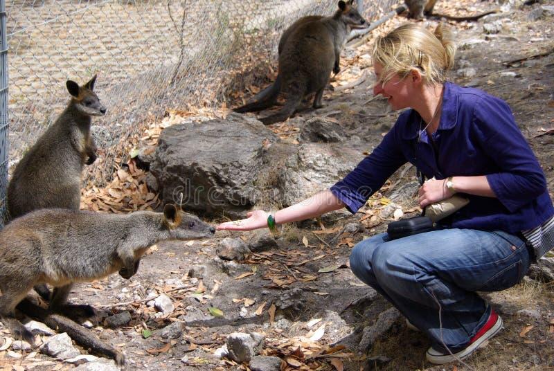 Woman Feeding Wallabies stock image