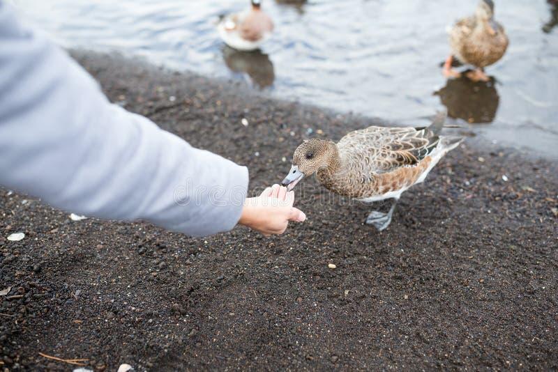 Woman feeding wild duck royalty free stock photography