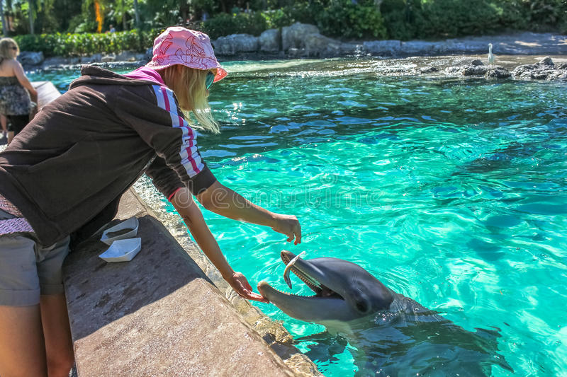 Woman feeds dolphin stock photo